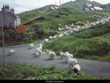 Driving sheep through Valtos <a href='/image-details/89102'>(more info)</a>