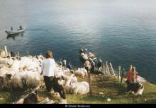Taking sheep off Pabbay <a href='/image-details/89105'>(more info)</a>