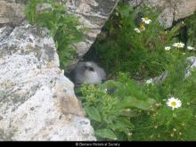 Fulmar chick on Berisay <a href='/image-details/88205'>(more info)</a>