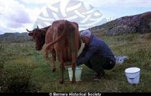 Norman 14 Kirkibost milking a cow <a href='/image-details/83704'>(more info)</a>